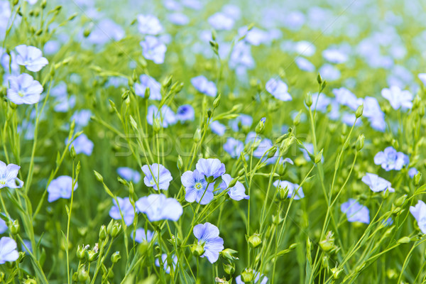 Blooming flax Stock photo © elenaphoto