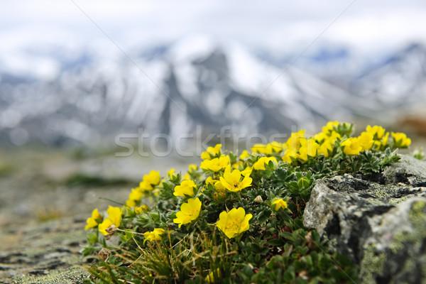 Stockfoto: Alpine · weide · park · bloemen · berg