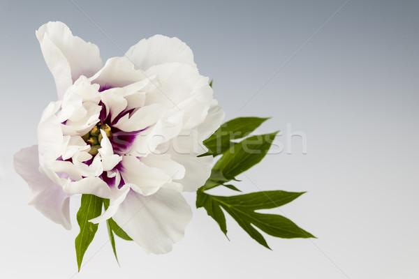 Stock photo: One peony flower