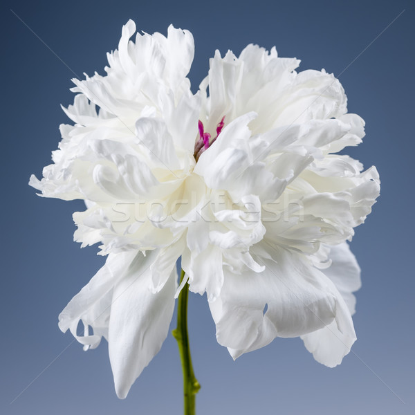 Stock photo: White peony flower