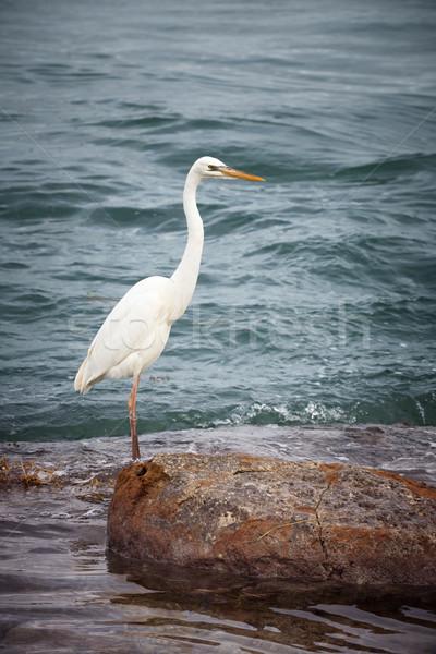 Branco garça-real pássaro em pé costa Foto stock © elenaphoto