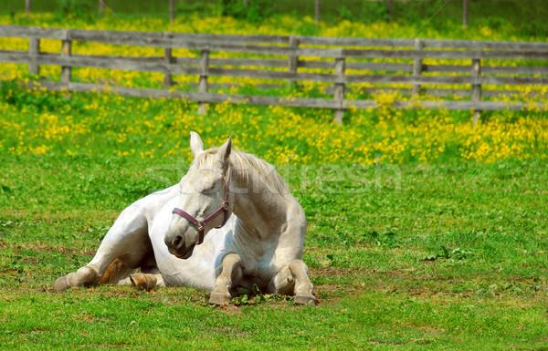 White horse Stock photo © elenaphoto