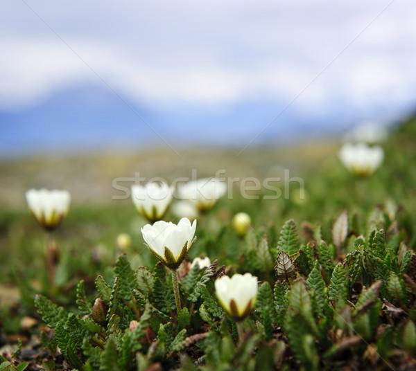 Alpine meadow in Jasper National Park Stock photo © elenaphoto
