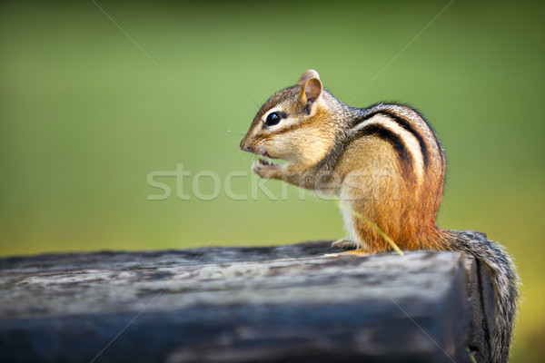 çizgili sincap yeme somun oturma yer fıstığı Stok fotoğraf © elenaphoto