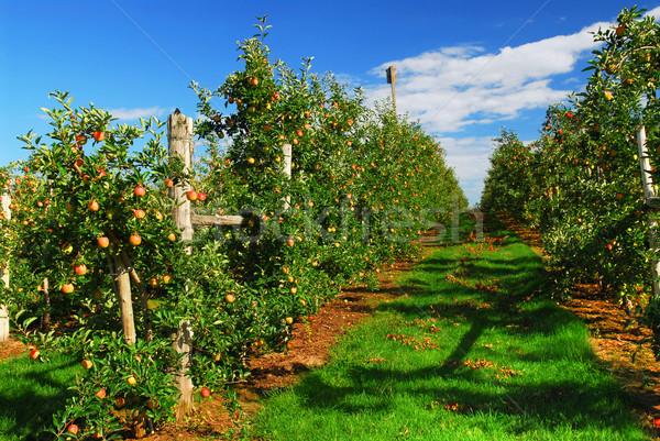 Verger de pommiers rouge pommes lumineuses ciel bleu Photo stock © elenaphoto