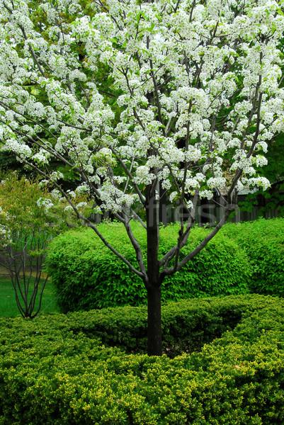 Blooming tree Stock photo © elenaphoto
