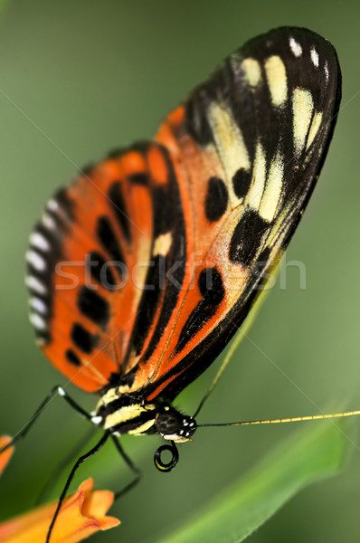 Large tiger butterfly Stock photo © elenaphoto