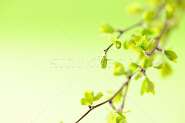Niederlassungen grünen Frühling Blätter jungen Natur Stock foto © elenaphoto