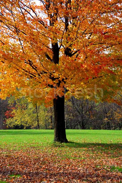 Maple tree Stock photo © elenaphoto