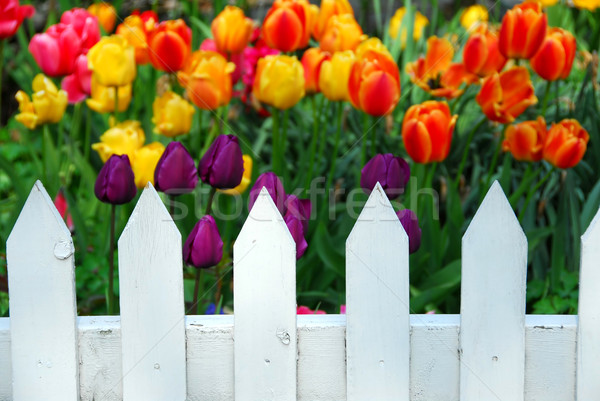 Tulips white fence Stock photo © elenaphoto