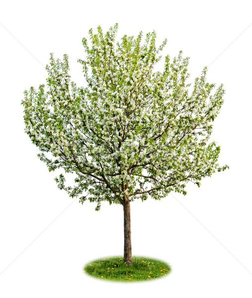 Geïsoleerd bloei appelboom jonge voorjaar witte Stockfoto © elenaphoto