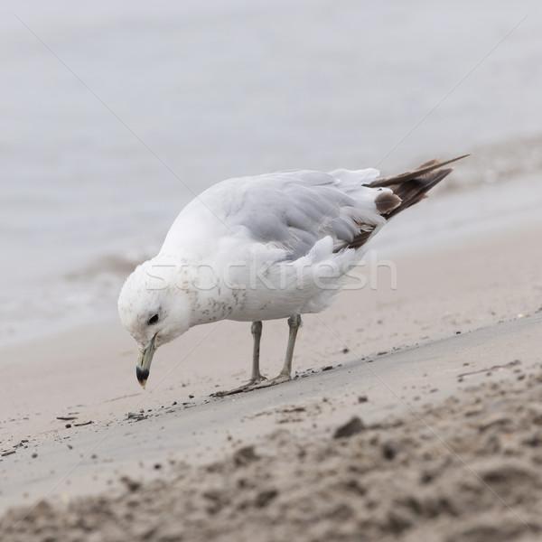 ストックフォト: 鴎 · ビーチ · 立って · 砂の