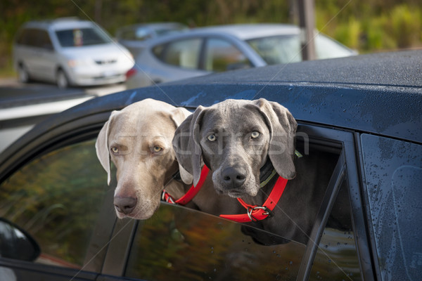 Stock photo: Dogs in car