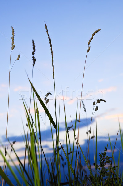 Grass at sunset Stock photo © elenaphoto