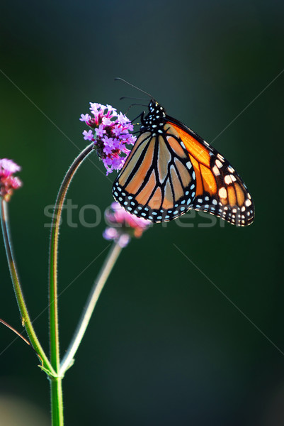 Monarch butterfly Stock photo © elenaphoto