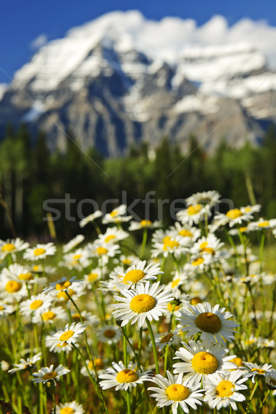 Daisies at Mount Robson provincial park, Canada Stock photo © elenaphoto