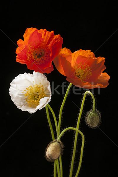 Papoula flores preto vermelho laranja branco Foto stock © elenaphoto