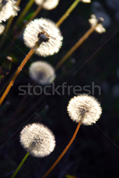 Dandelion Stock photo © elenaphoto