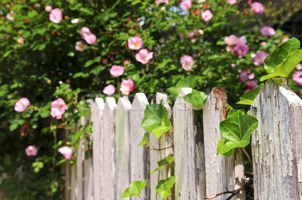 Stok fotoğraf: Bahçe · çit · güller · sarmaşık · çiçekler