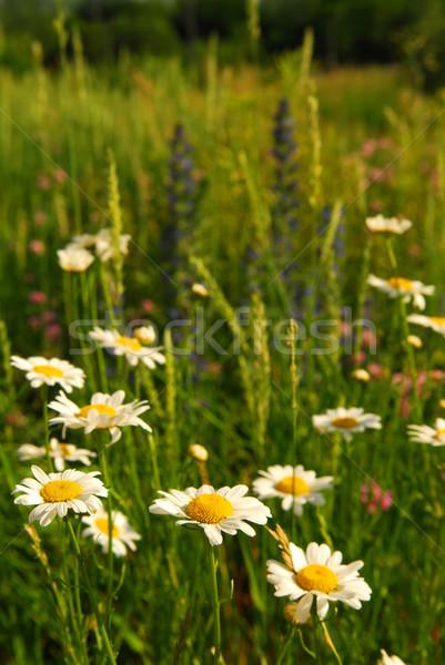 лет луговой Daisy цветы зеленый Сток-фото © elenaphoto