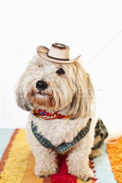 Sevimli köpek kovboy kostüm çok güzel kovboy şapkası Stok fotoğraf © elenaphoto