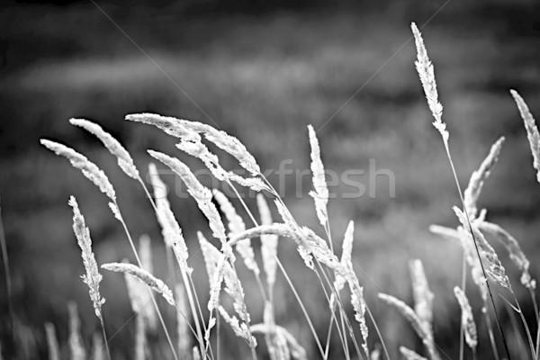 Wild grass in black and white Stock photo © elenaphoto