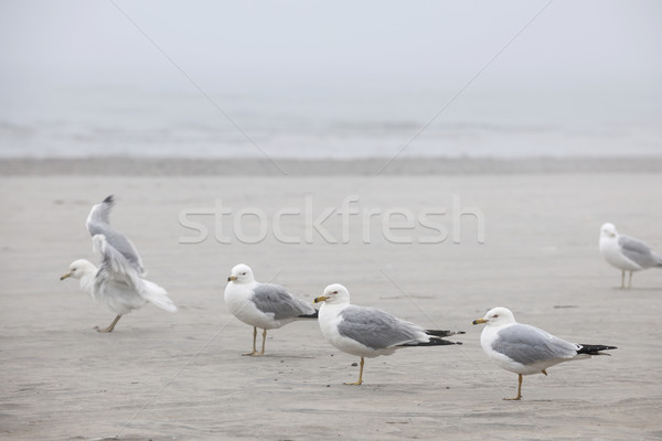 Seagulls on foggy beach Stock photo © elenaphoto