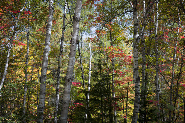 Birches in fall forest Stock photo © elenaphoto