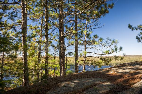 Soleado acantilado pino árboles creciente Foto stock © elenaphoto