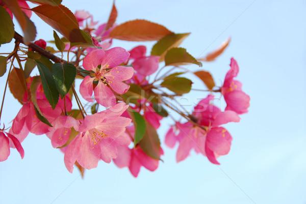 Apple blossom Stock photo © elenaphoto