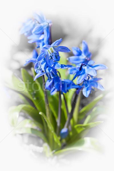 Glória neve flores azul planta Foto stock © elenaphoto