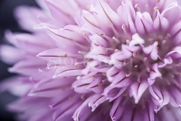Chives flower Stock photo © elenaphoto
