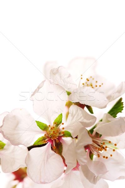 ピンク 桜 マクロ 孤立した 白 ストックフォト © elenaphoto