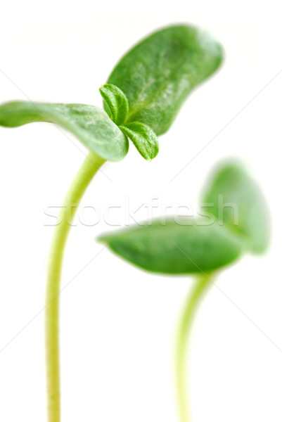 Foto stock: Verde · jóvenes · girasol · planta · aislado · blanco