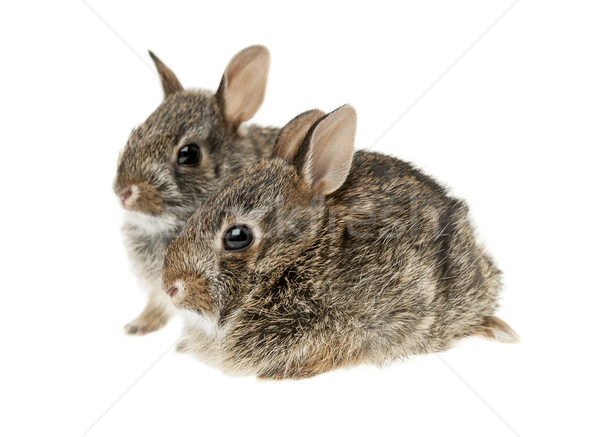 Two baby bunny rabbits Stock photo © elenaphoto