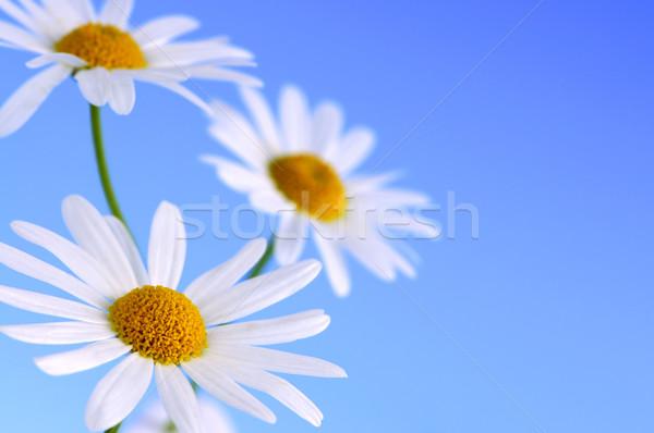 Százszorszép virágok kék makró világoskék égbolt Stock fotó © elenaphoto