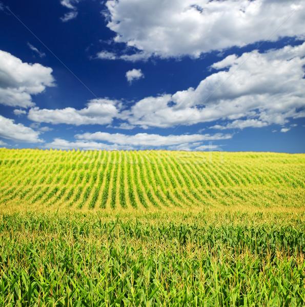 ストックフォト: トウモロコシ · フィールド · 農業の · 風景 · 小 · 規模