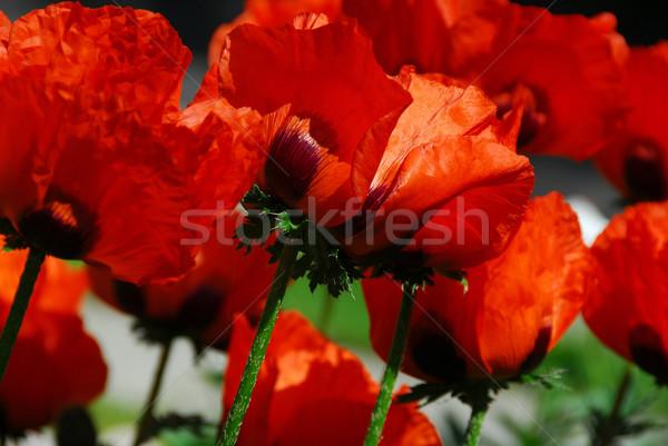 Island poppies close Stock photo © elenaphoto