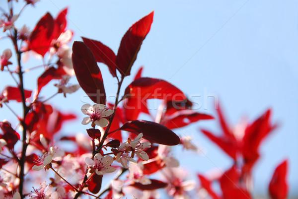 Bloomig cherry Stock photo © elenaphoto