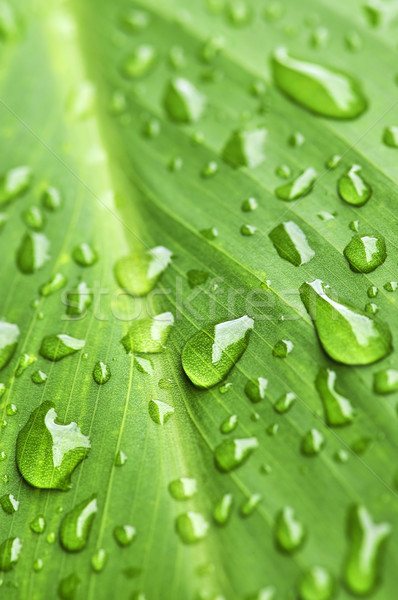 Green leaf background with raindrops Stock photo © elenaphoto