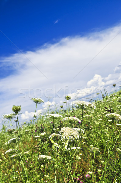 Summer meadow Stock photo © elenaphoto