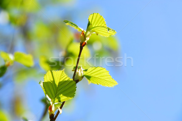 Spring tree Stock photo © elenaphoto