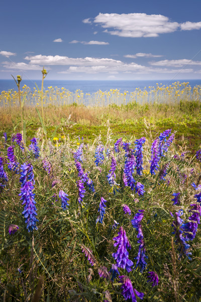 Wildflowers on Prince Edward Island Stock photo © elenaphoto