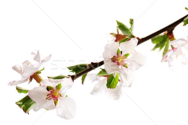 Rózsaszín cseresznyevirág ág cseresznyevirágzás izolált fehér Stock fotó © elenaphoto