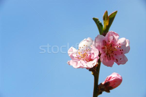 Pêssego ramo árvore blue sky flores Foto stock © elenaphoto