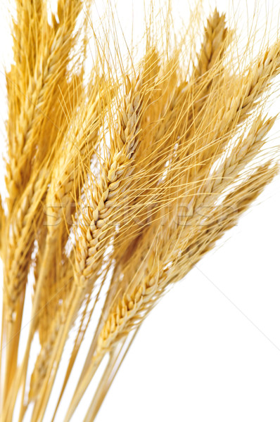 Isolated wheat ears Stock photo © elenaphoto