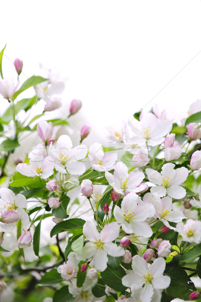 Stock photo: Apple blossoms background