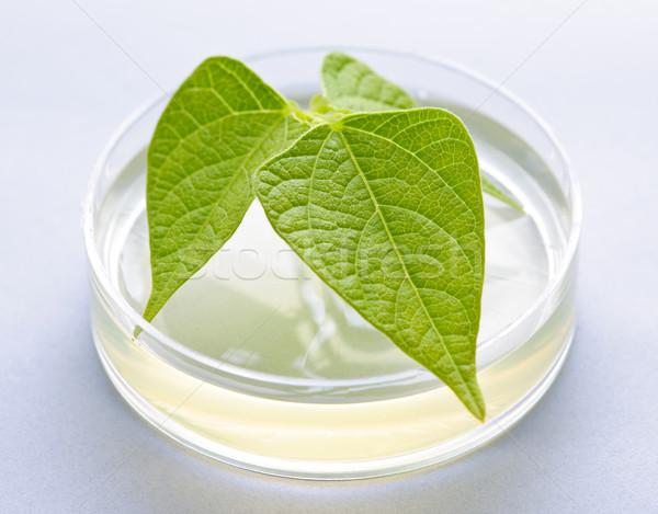 GM plant in petri dish Stock photo © elenaphoto