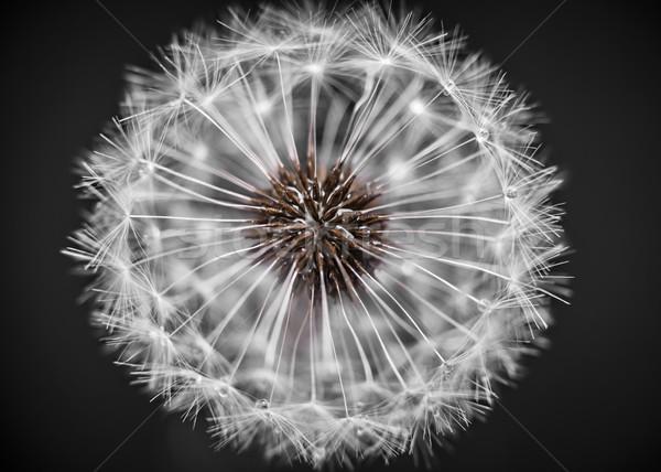 Dandelion head closeup Stock photo © elenaphoto