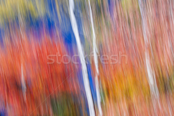 Birches in red forest Stock photo © elenaphoto